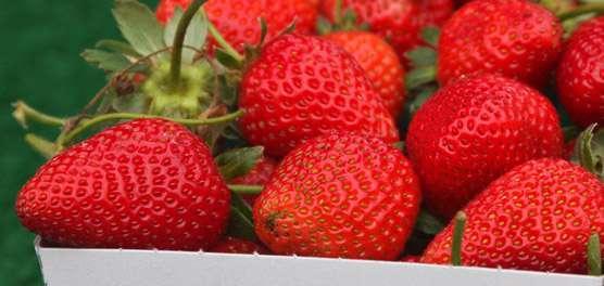 ESALQ conclui que morangos orgânicos têm polpa mais firme