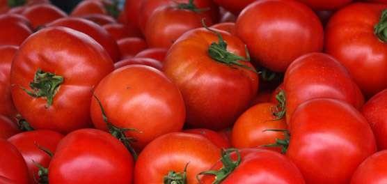 Tomates cultivados em sistema orgânico