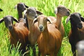 Produção orgânica de caprinos e ovinos