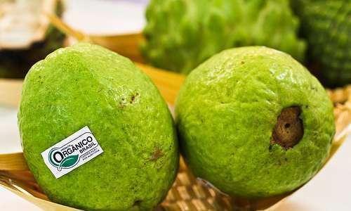 Ensacamento de frutos; viabilização de produção orgânica da goiabeira serrana