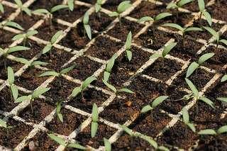 Substrato de fontes renováveis para produção de mudas de hortaliças