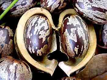 Casca e torta de mamona avaliadas como fertilizante orgânico
