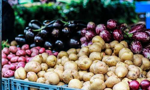 Cultivo de Batata Orgânica