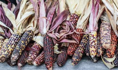 Importância da produção do milho orgânico para a agricultura familiar