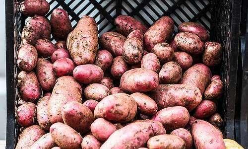 Análise energética em cultivos orgânicos de batata