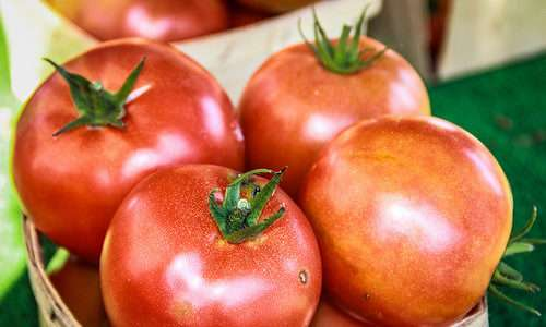 Potencial alelopático do adubo verde no tomate