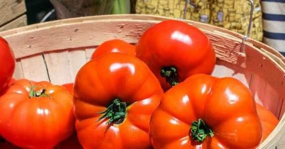Adubo verde é opção para cultivo de tomate orgânico
