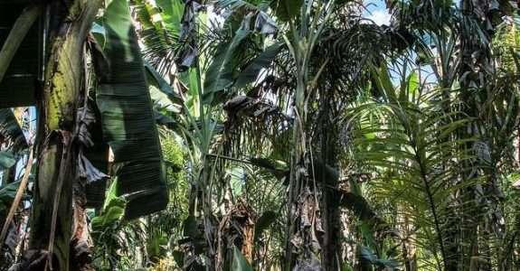 Manejo de água em cultivo orgânico de banana