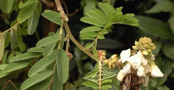 Crescimento da leguminosa arbustiva Tefrósia em sistema orgânico de produção