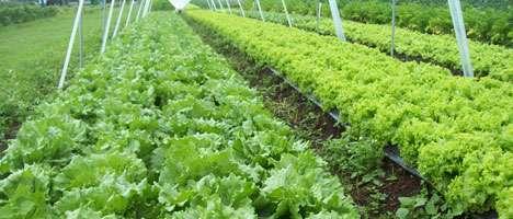 Produção orgânica de mudas de alface
