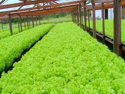 Seleção de genótipos de alface para a produção em sistema orgânico