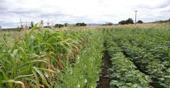 Algodão em consórcios agroecológicos traz benefícios econômicos e ambientais