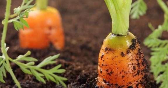 Armazenamento refrigerado: cenouras de sistema orgânico e convencional