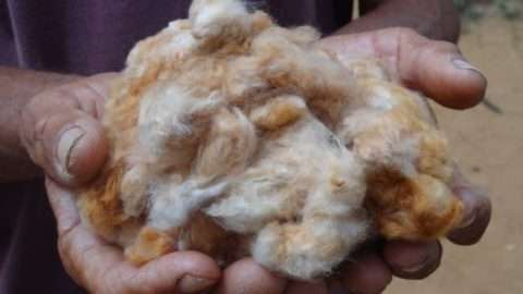 Cerca de 30 famílias de agricultores estão cultivando o algodão colorido em sistema agroecológico, em consórcio com outras culturas como fruteiras, gergelim e milho, no Estado de Mato Grosso do Sul. Foto: Edna Santos/Divulgação Embrapa Algodão