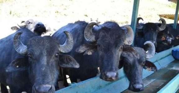 Produção de leite de búfala orgânico no Rio de Janeiro
