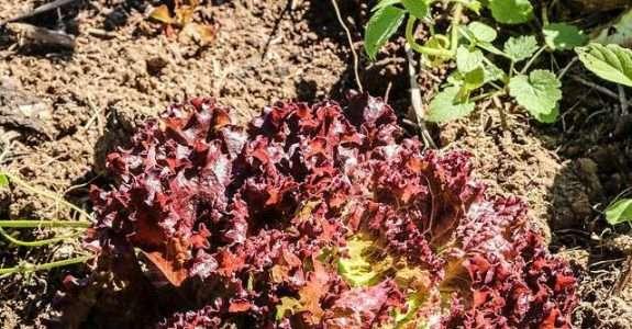 Desempenho do consórcio alface-beterraba sob sistema orgânico