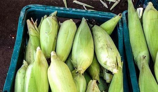 Milho verde orgânico: produção e pós-colheita