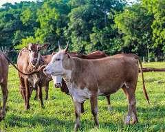Possibilidades da pecuária orgânica no Brasil: Embrapa