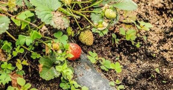 Apesar de trabalhosa, agricultura orgânica pode ser mais lucrativa para o produtor