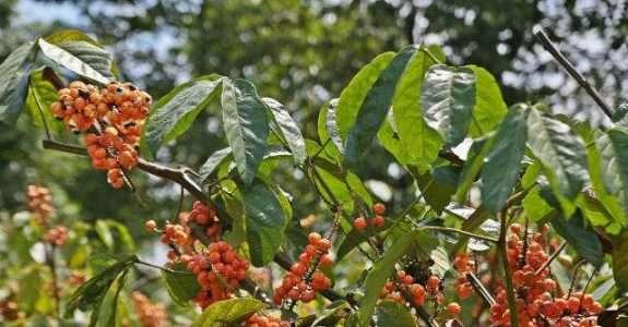 No Amazonas, produtores de guaraná adotarão práticas agrícolas mais sustentáveis