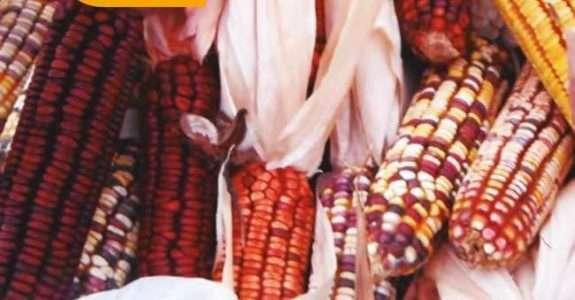 Primeira semente de milho exclusiva para produção orgânica