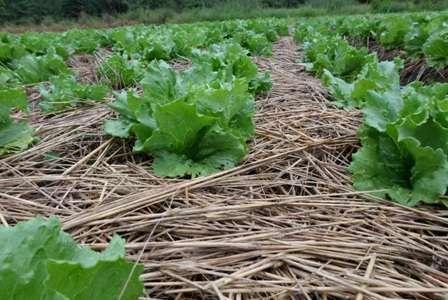Sistema de Plantio Direto de Hortaliças reduz uso de agroquímicos