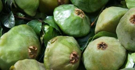 Cambuci: fruto nativo da Mata Atlântica gera renda a pequenos agricultores