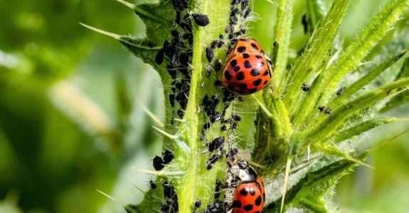 Registro de defensivos agrícolas de controle biológico bate recorde