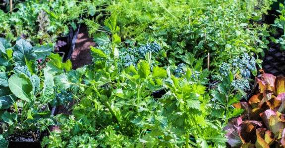 Manejo de fertilizantes orgânicos pode otimizar aproveitamento do nitrogênio