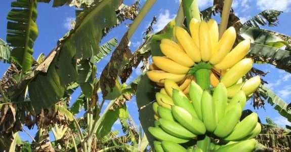 Broca-da-banana tem controle biológico por fungo