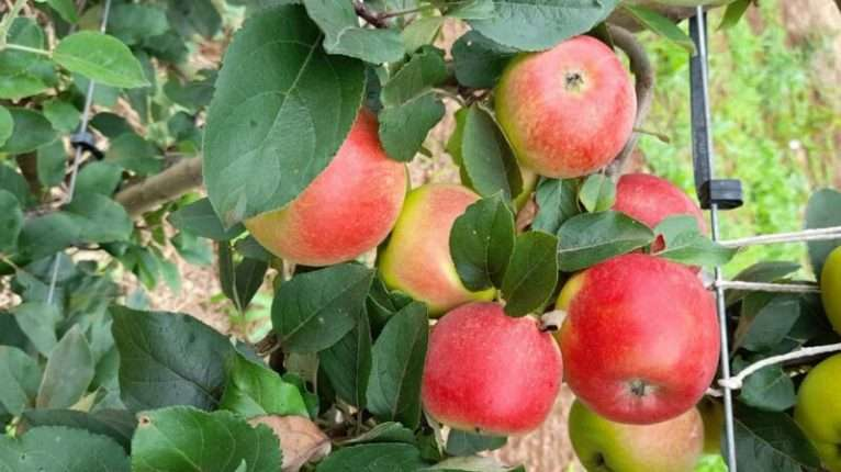 maca-rubi-organica