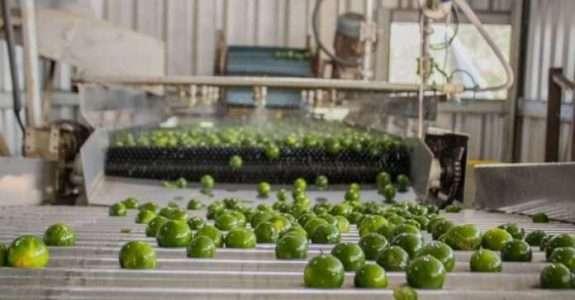 Safra Da Bergamotinha Verde Da Ecocitrus Deve Dobrar Em 2021