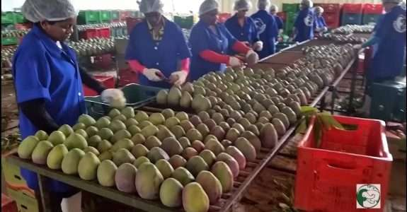 Fazenda Tamanduá faz doação de quase 200 quilos de polpa de manga biodinâmica ao Hospital Regional de Patos