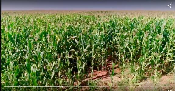 Rizoma Agro dobra produção de grãos com cultivo organico.