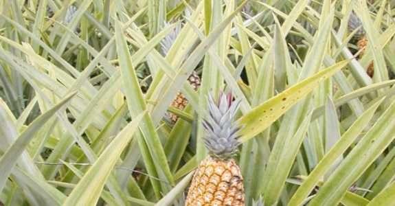 Sistema orgânico para produção de abacaxi: Embrapa