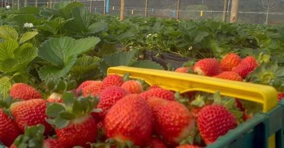 Produtores de morango sustentável criam sistema colha e pague